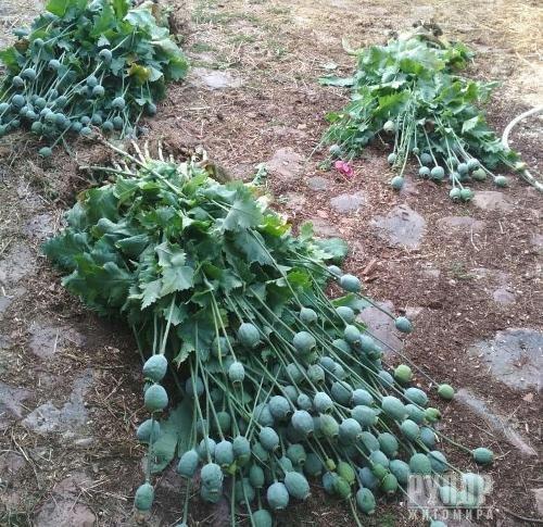 Понад тисячі рослин снодійного маку за вихідні вилучила поліція у жителів Житомирщини
