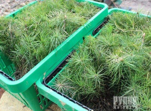 Лісівники Житомирщини цьогоріч висадять понад 40 мільйонів дерев